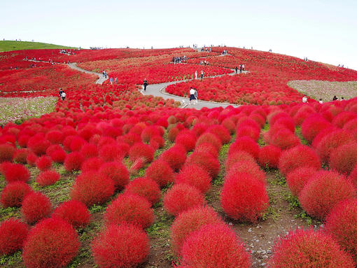 Where to See Autumn Flowers Near Tokyo