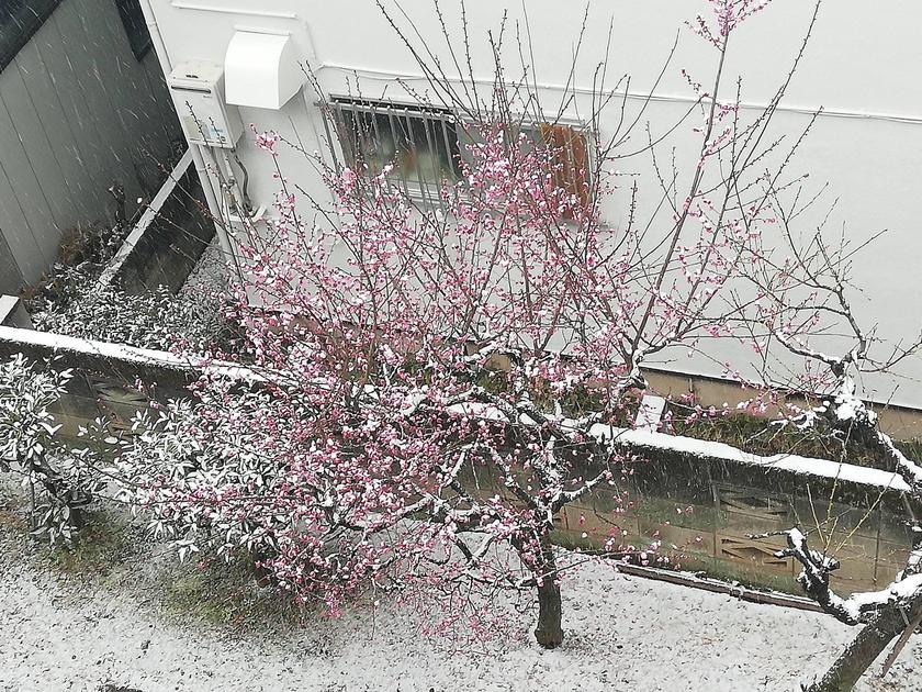 Where to see Early Sakura Near Tokyo