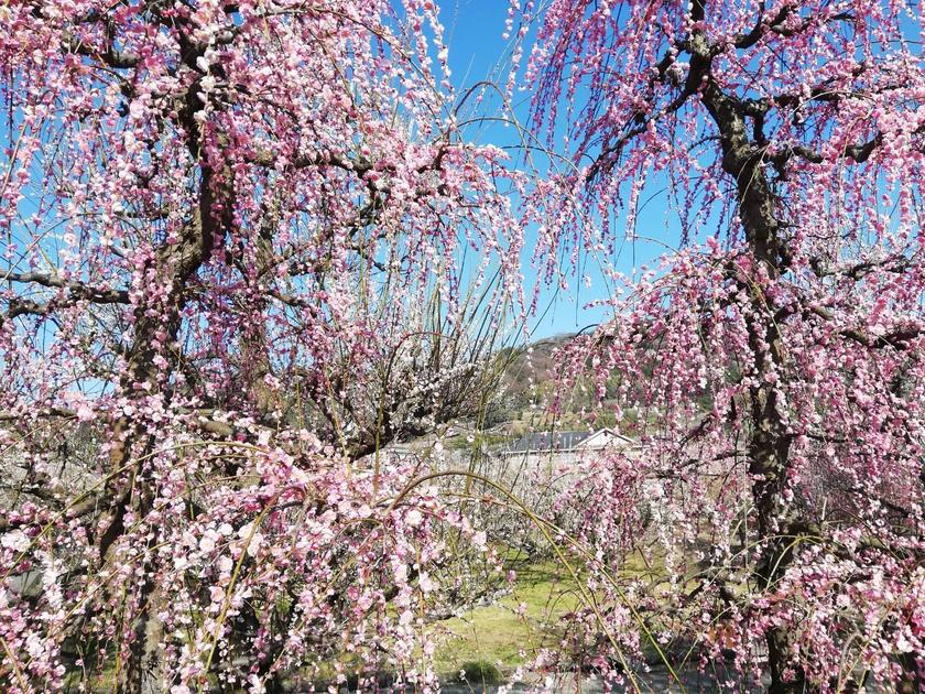 Plum Paradise - My Weekend Escape from Tokyo